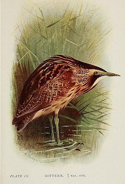 britishbirds00huds_0263