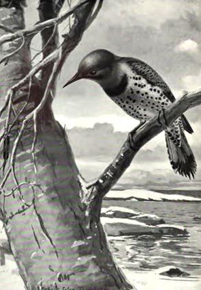 birdportraits00hoffgoog_0019