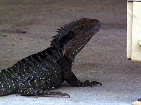 DSCF6686 lizard 2