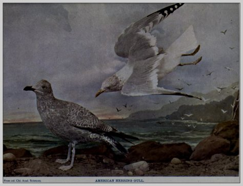 1 a birdsthathunt00blaniala_0065
