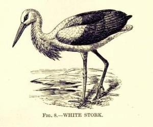 1 1 aquaticbirdsofgr00pattrich_0084