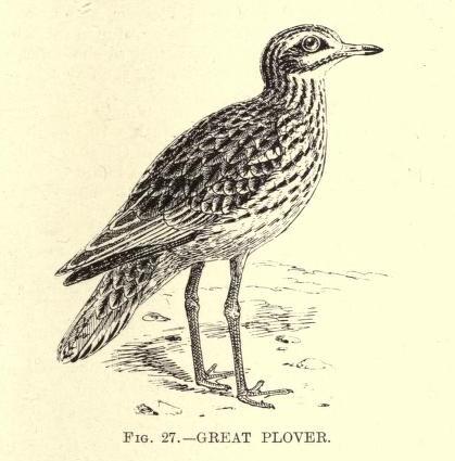 1 1 1 aquaticbirdsofgr00pattrich_0261