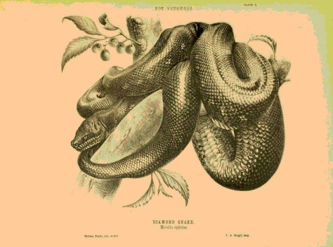 Z Z snakesofaustrali00kref_0131