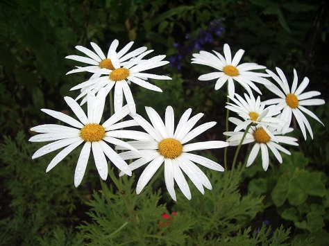 1 daisies