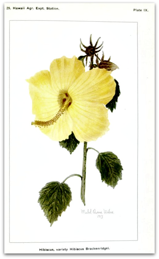 Hibiscus (Haiku) Dew-kissed Hibiscus Smell of the sweet salty waves Dancing green palm trees.  Marian