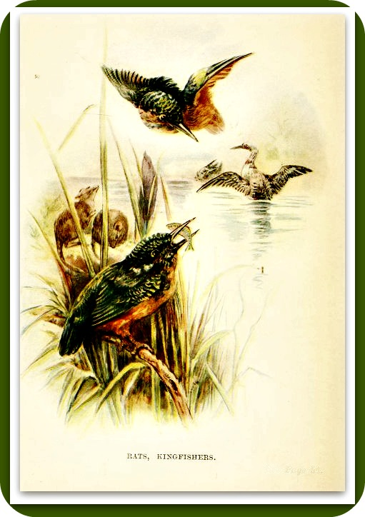 The grasshopper flies about, but the kingfisher watches him. Samoan.