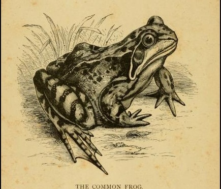 The frog enjoys himself in water but not in  hot water. West African Negro