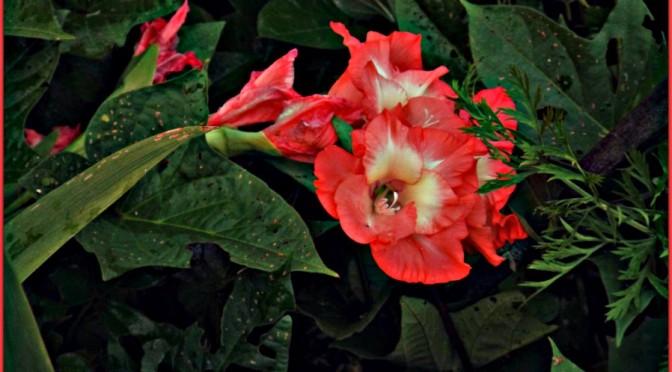"""Mars red gladiolus"""