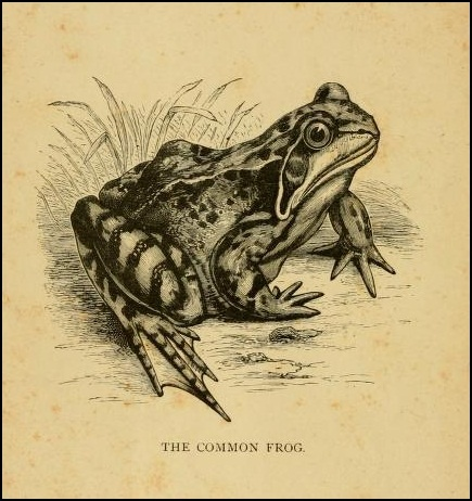 The frog sings ; and yet she has neither hair nor wool to  cover her.